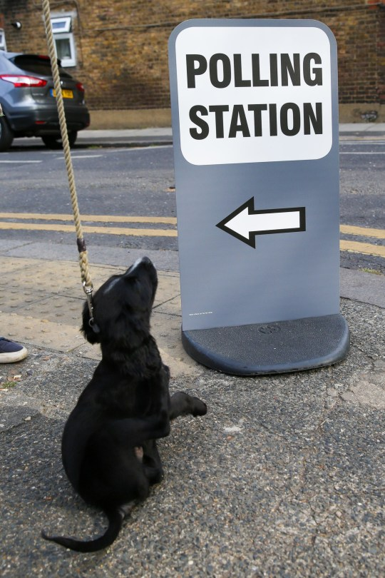 Alamy Live News. TA9JNR North London, UK. 23rd May, 2019. A dog is seen at a polling station in Haringey, north London during in the European Parliament elections. Credit: Dinendra Haria/Alamy Live News This is an Alamy Live News image and may not be part of your current Alamy deal . If you are unsure, please contact our sales team to check.