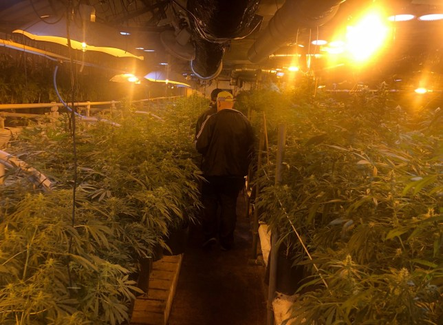 Police at the cannabis farm, worth £6 million, at the time of the raid