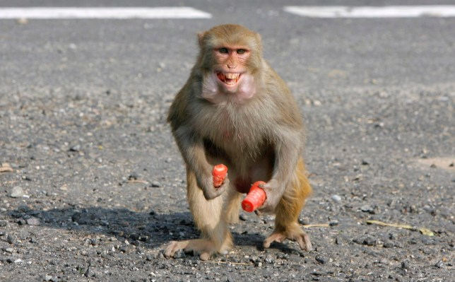 A man has died in India after being bitten by a monkey