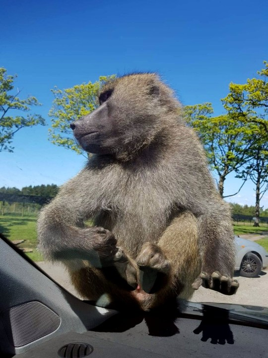 A monkey at a safari park weed in a car