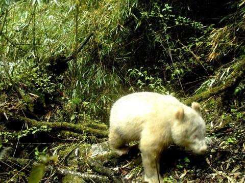 World's first sighting of wild albino Giant Panda caught on camera