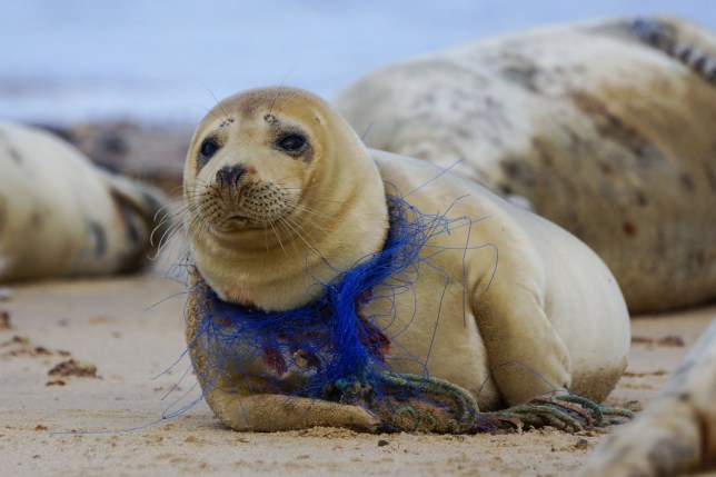 **MANDATORY BYLINE** Pic by Geoff Smith/Caters News - (Pictured: This heart-wrenching image of a seal at Horsey Gap on the Norfolk Coast. It has grown with discarded fishing net and rope cut into its neck. the mammal was reported to a local seal observation group before photographer, Geoff Smith, 54 from Ipswich left the area. Pic taken 09/02/2019)