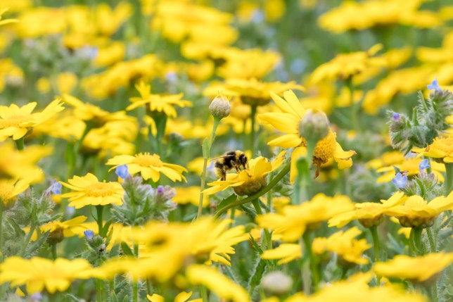 a bee on yellow flowers in a summery field