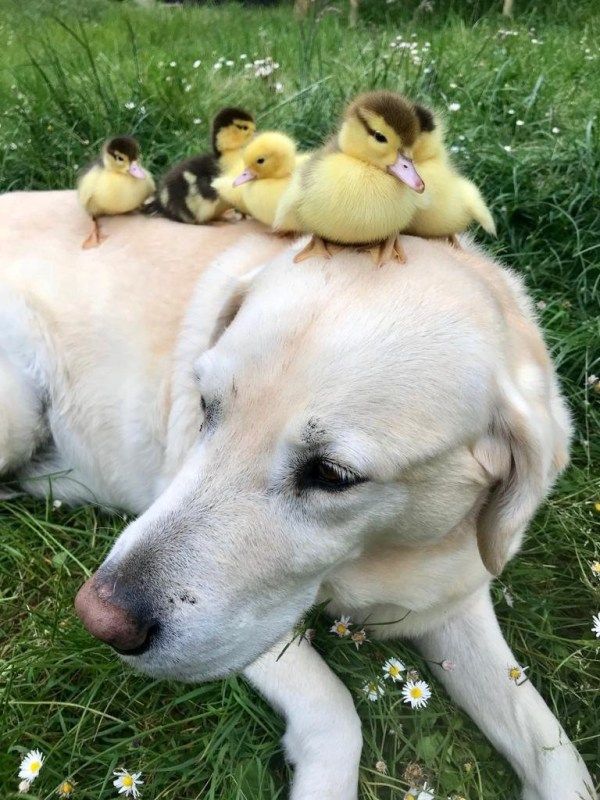 Fred the labrador lying on the grass and chilling out with his ducklings resting on his back and head
