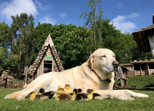 FILE PIC FROM 2018. Fred the Labrador with his adopted ducklings at Mountfitchet Castle near Stansted, Essex. See SWNS copy SWCAducklings: A Labrador which touched the heart of the nation last year after adopting nine ducklings is back to his old tricks with six new fledglings to look after. Fred the Labrador hit the headlines after becoming a stay-at-home parent for nine baby orphaned ducklings when their mother vanished. But after seeing them all fly the nest, Fred has once again found himself fostering a second set of doting ducklings.