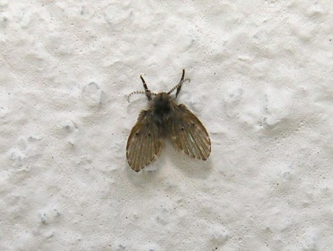 A Summer Drain Fly Infestation Could Be To Blame For A Weird Smell In Your Home Metro News
