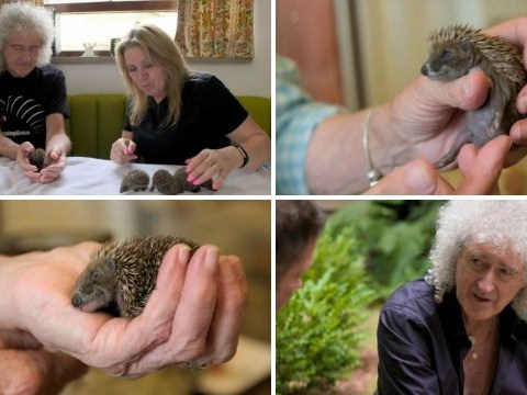Saving Britain's Hedgehogs: Brian May hailed 'hedgehog warrior' after housing thousands in his garden