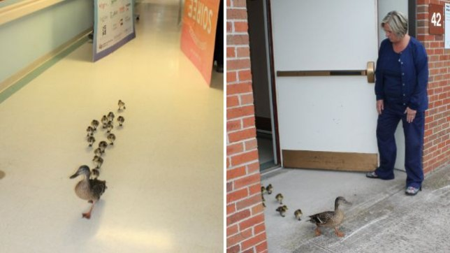A mother duck makes her annual pilgrimage through the MM Ewing Continuing Care Center in upstate New York, followed by this year's brood of 13 ducklings
