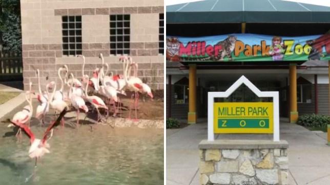 Miller Park Zoo, Flamingo