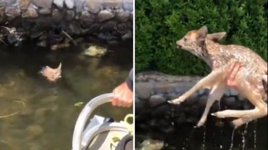 The little fawn swam over to Jesse Freitas and his family's boat, before gratefully jumping up into his arms