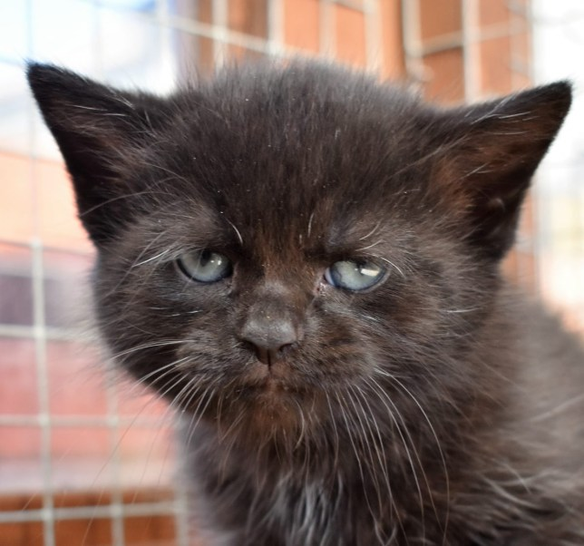 This is Bear, a kitten that does actually look quite a bit like Yoda. He already has a home, though Picture: Cats Protection)