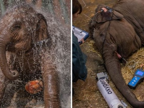 Elephant calf makes miraculous recovery from deadly EEHV virus at Chester zoo