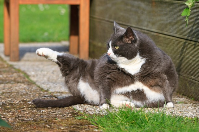 Gorgeous but fat cat doing yoga in a garden during spring