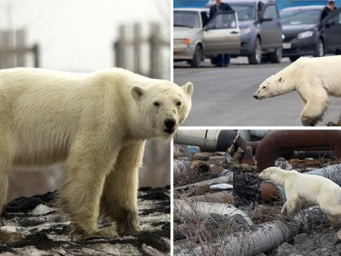 'Lost' polar bear who wandered into suburbs may have been dumped by poachers