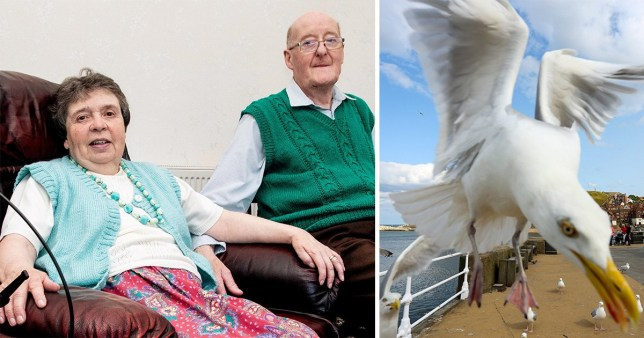Elderly couple held hostage by angry seagulls
