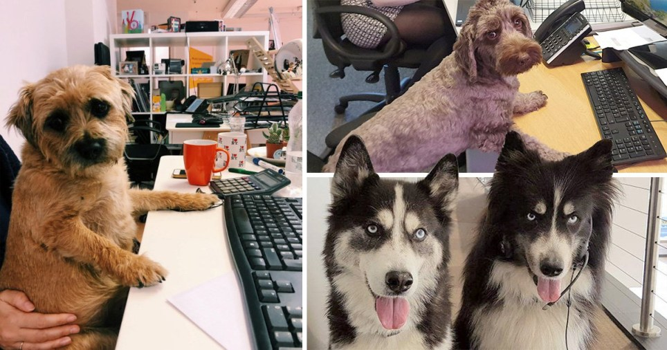 These dogs just love sinking their teeth into a new job (Picture: SWNS)