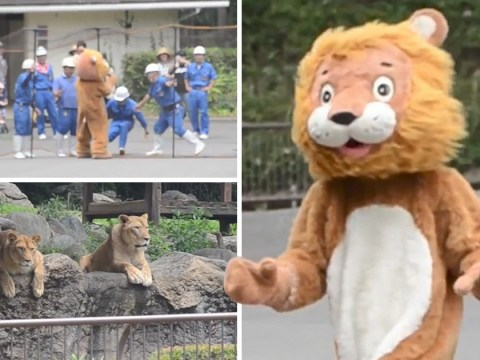 Zoo hosts hilarious lion drill with a person in a mascot costume