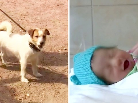 Jack Russell pulls owner into bushes to find abandoned baby