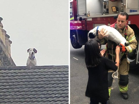 Dog reported missing is found hiding on the roof by firefighters