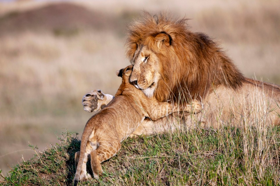 Pic by Sabine Bernert/Caters News - (Pictured: A baby lion has an adorable interaction with his dad.) - A real life Mufasa and Simba have been captured cuddling each other days before Fathers Day. Sabine Bernert, 53, from Paris, was documenting wildlife in Masai Mara, Kenya, when she captured the adorable sequence. The photographers images show a father gazing around his territory in the plains of Masai Mara before his cubs sneak into the long grass, pretending to attack him. Sabine, who is also a professional conservation writer, photographer, speaker, barrister and mediator, captured the moment in the early hours of the morning while documenting wildlife for a childrens book. SEE CATERS COPY.