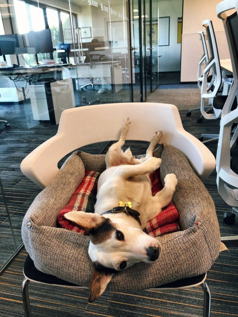 Bring your dog to work day https://twitter.com/littlemollydog/status/1141965387464085505 Picture: littlemollydog