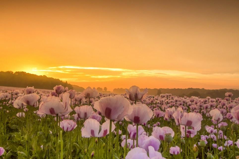 A misty pink sky sunrise over a poppy field in Sturminster Marshall, Dorset on 24/06/2019