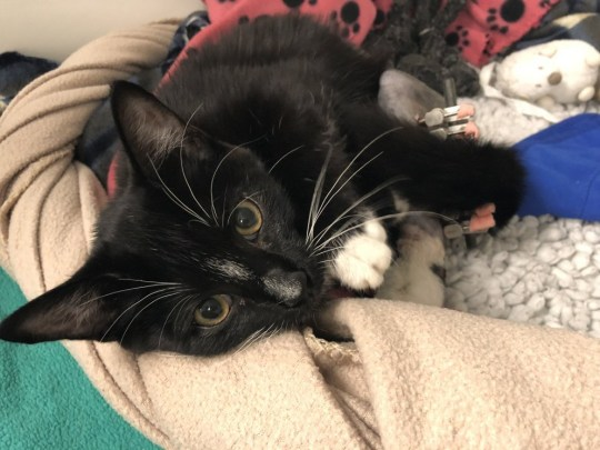 METRO GRAB - How to keep pets safe in hot weather Zana the kitten recovers from broken leg after falling from a window From Blue Cross https://www.bluecross.org.uk/pet-advice/top-tips-keeping-your-cat-cool-summer