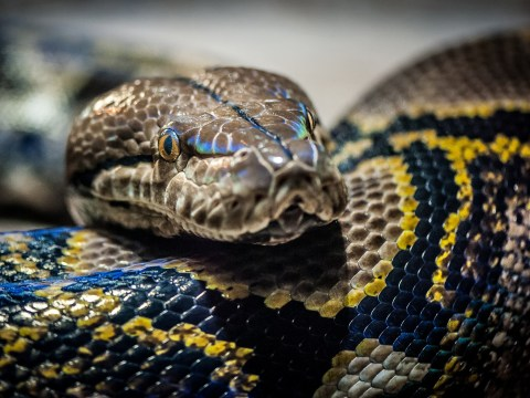 Giant 9ft python on the loose in Cambridge