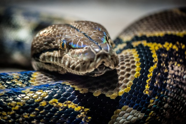 A reticulated python is on the loose on the streets of Cambridge