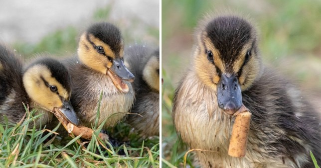 The butt is passed down the ducklings, as second photograph shows another gripping the stub