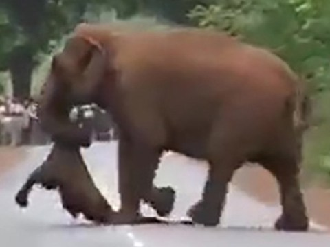 Elephants hold 'funeral procession' for dead calf