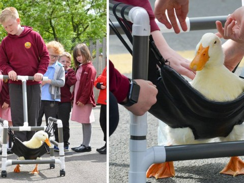 Disabled duck spared death after being given her very own wheelchair