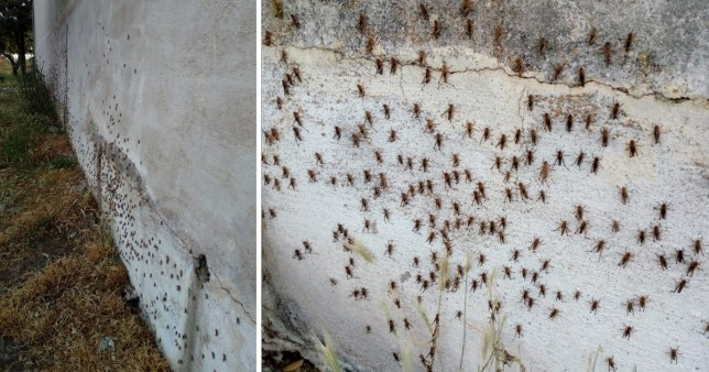 A swarm of locusts have invaded the Italian island of Sardinia, destroying crops and infesting houses