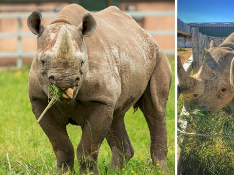 Critically endangered eastern black rhino falls pregnant at zoo in Wales