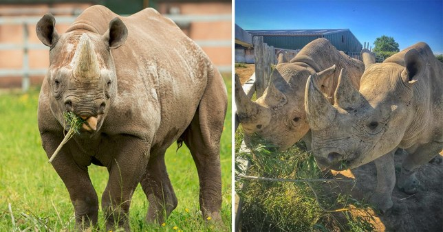 The new rhino baby is due in January next year at Folly Farm