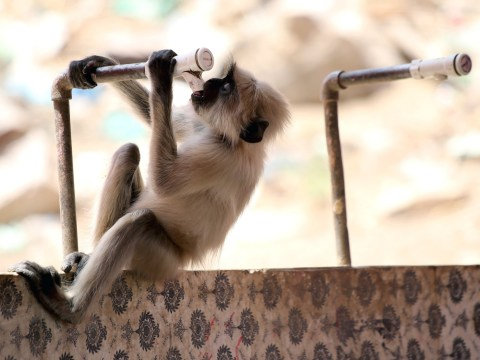 Fifteen monkeys 'kill each other after becoming desperate for water during heatwave'