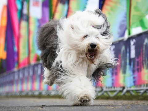 Dulux dogs are 'facing extinction' as owners shun them for more fashionable breeds