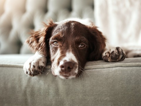 Dogs will mirror the stress level of their owners, study finds