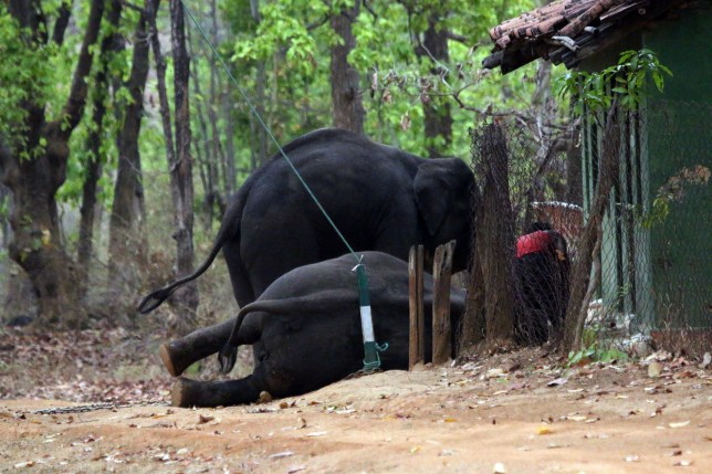 Elephants chained to trees and in cages in Bandhavgarh national park