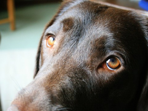 Dogs 'sad eyes' have evolved to appeal to humans more