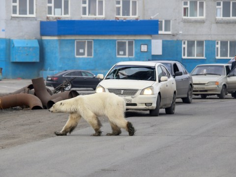 Starving and exhausted polar bear scavenges city streets for food