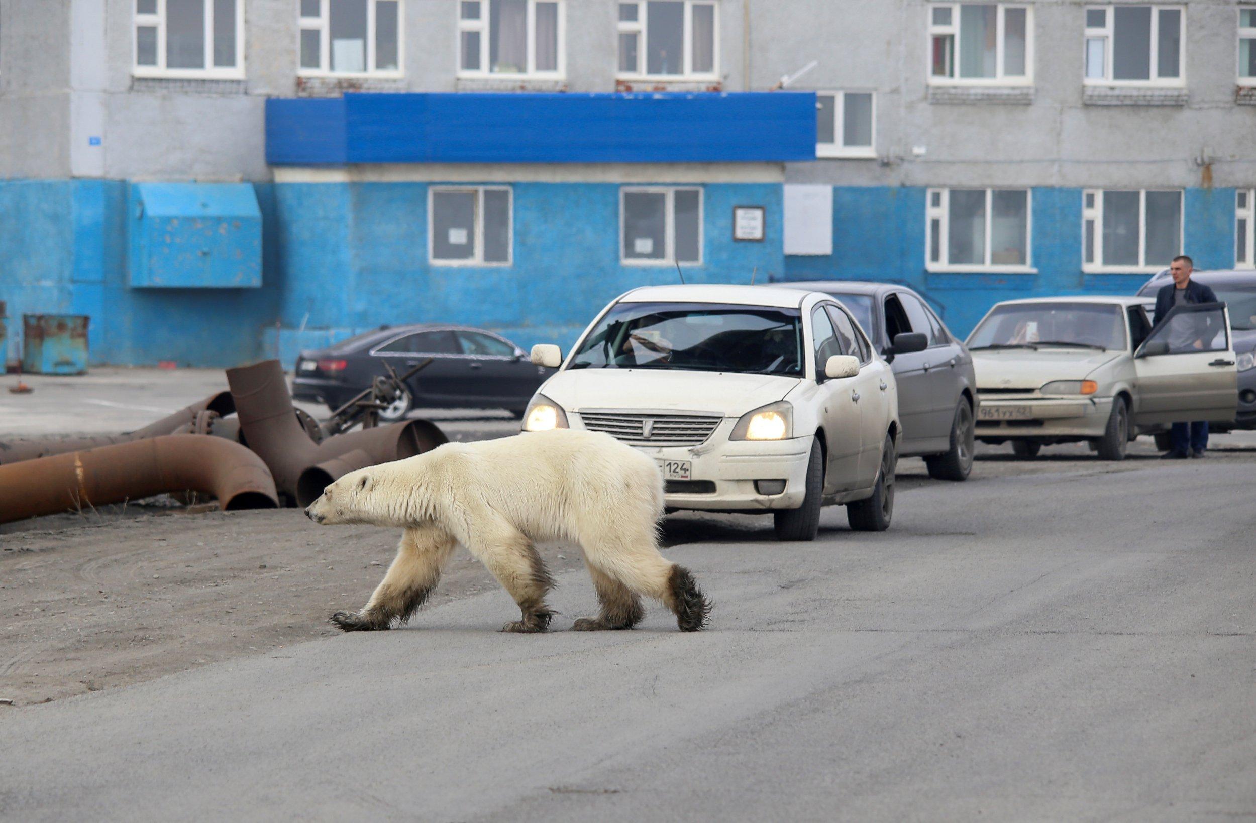 A erratic frigid bear is seen in a industrial city of Norilsk, Russia
