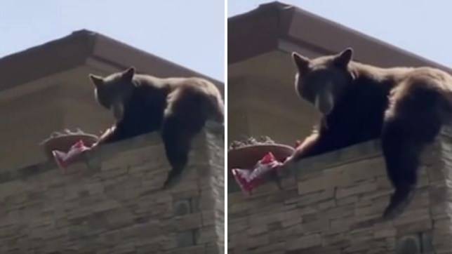 This bear just didn't have a care in the world as she helped herself to some Twizzlers on a house roof in California over the weekend