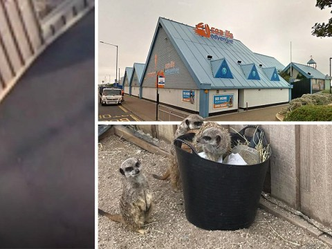 Meerkats escape zoo and run to seafront after their cage was vandalised