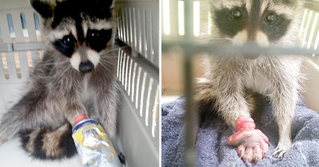 Raccoon's hand swells four times the size after getting stuck in can
