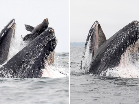 Humpback whale swallows sea lion whole after it tries to steal its food