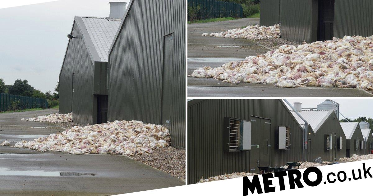 Thousands of chickens baked to death during heatwave | Metro