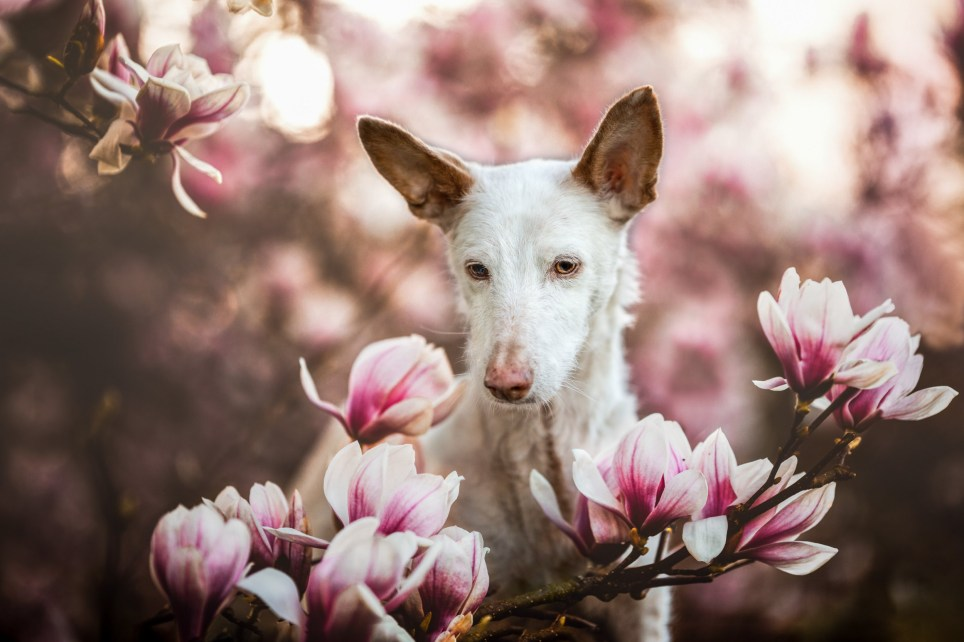 "Picture supplied by Denise Czichocki/Kennel Club/Bav Media 07976 880732. Picture by Denise Czichocki from Switzerland has been chosen as the overall winner of the competition with ?Dreaming Merlin?, which sees Merlin, the 14-year-old rescue Podengo, sat amongst a magnolia setting, which was also placed first in the ?Oldies? category. A stunning picture of a dog surrounded by magnolia has come top in the annual Dog Photographer of the Year contest. The photo of rescue dog Merlin was chosen as the overall winner in The Kennel Club's international competition, which received almost 7,000 entries from more than 70 countries. Denise Czichocki, from Switzerland, who took the photo of her 14-year-old Podengo, said: ""I am really proud and overwhelmed, I still can't believe it! There are so many good photographers out there and I won this title, it is absolutely amazing. ""I have always loved to take pictures of everything, and my passion for dog photography started when I had my own, I wanted to create lovely memories of all of them. Over the years I have developed my photography to become more emotional."" The contest had 10 categories: Portrait, Man's Best Friend, Dogs At Play, Dogs At Work, Puppy, Oldies, I Love Dogs Because - for entrants aged between 12 and 17 years old - Young Pup Photographer - for entrants aged 11 and under - and Assistance Dogs and Rescue Dogs. SEE COPY CATCHLINE Winners of Dog Photo of Year comp"