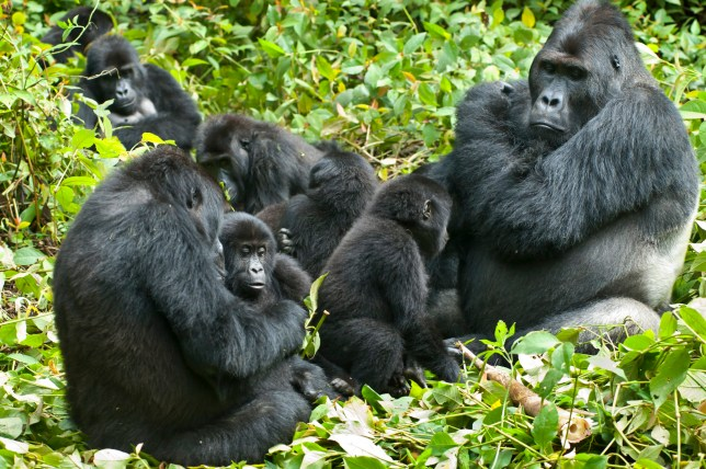 Gorillas live in small family units (Getty)