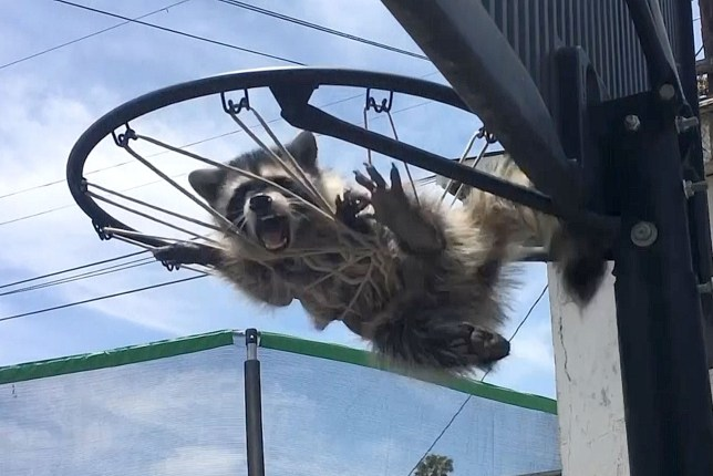 PIC FROM Caters News - (PICTURED: A raccoon was rescued by a team of animal rescuers after getting stuck in a basketball net in south Los Angeles, California on July 5) - A team of animal rescuers have saved the life of a distressed baby racoon trapped in a basketball net.Armando Navarrete and Ernesto Poblano from the LA Animal Services disentangled the young animal from the netting on July 5 in south Los Angeles, California.The video shot by Armando shows the baby raccoon nervously lashing out at its rescuers while its mother overlooked the scene from a nearby rooftop.SEE CATERS COPY